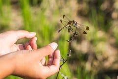 女孩手和蜻蜓早晨 免版税图库摄影