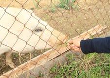 女孩手哺养的猪 库存图片