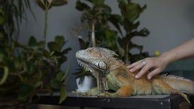 女孩抚摸一只大蜥蜴 关闭抚摸爬行动物的女孩` s手 股票录像
