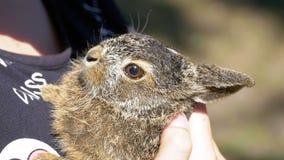 女孩拿着一个小狂放的蓬松婴孩兔宝宝 在棕榈的一点兔宝宝 慢的行动 股票录像