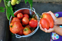 女孩拿着一个红色蕃茄 库存照片