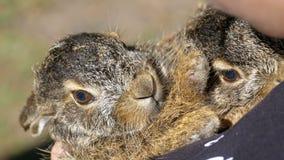 女孩拿着两小狂放的蓬松婴孩兔宝宝 在棕榈的一点兔宝宝 股票录像