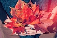 女孩拿着收集的下落的槭树叶子花束在红色和黄色的 一张明亮的图片 定调子 免版税库存图片