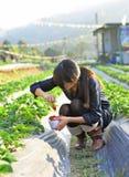 女孩挑库草莓在农场 免版税图库摄影