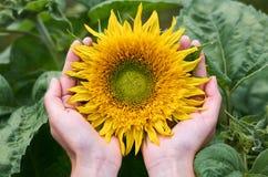 女孩用她的手拥抱晴朗的向日葵 国内耕种,与自然的团结,自然礼物的概念  免版税库存图片
