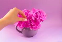 女孩的手在一个淡紫色杯子把桃红色八仙花属放花束在fiodet背景上 库存图片