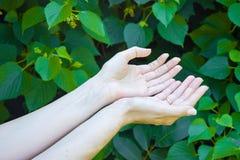 女孩的手绿色的生叶背景 免版税库存照片