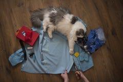 女孩缝合一只猫的衣裳从一件老衬衣 免版税库存图片