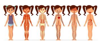 女孩身体解剖学传染媒介女性肌肉,骨骼,循环或者紧张和消化系统的动画片例证 库存例证