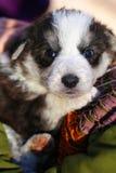女孩运载在她的胳膊的一条小狗 免版税库存图片