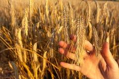 女孩递握麦子-摘要的耳朵 库存图片
