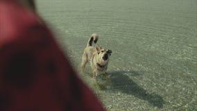 女孩通过夏令时的海滩享受松弛步行与她的狗 在海运的狗 从寄生虫飞行的鸟瞰图 股票视频