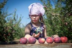 女孩采摘苹果 库存图片