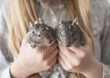 女孩青少年的藏品两小动物共同的degu灰鼠在手上 逗人喜爱的宠物的特写镜头画象在孩子` s手上 免版税图库摄影