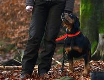 女孩-与狗的猎人在森林里 库存照片