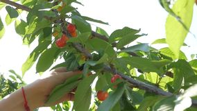 女孩` s手从树的采摘樱桃 影视素材