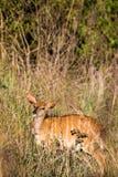 女性一点Kudu在斯威士兰, Mlilwane野生生物保护区的草原 库存图片