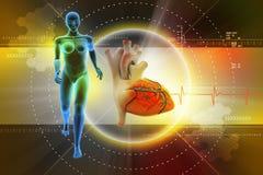 女性人体和心脏 图库摄影