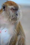女性供以座位长尾的短尾猿猴子专心地凝视 免版税图库摄影