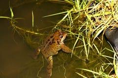 女性共同的青蛙-蛙属temporaria -当地人 库存照片
