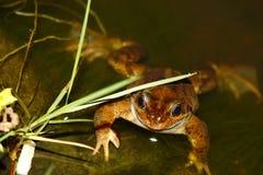 女性共同的青蛙-蛙属temporaria -当地人 免版税库存照片