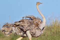 女性共同的驼鸟画象 免版税库存图片