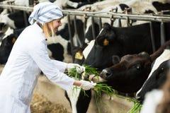 女性兽医技术员哺养的母牛在农场 免版税库存图片