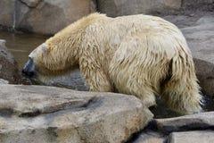 女性北极熊伊娜小河 免版税库存图片