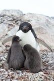 女性和两只小鸡Adelie企鹅在巢坐summ 免版税库存图片