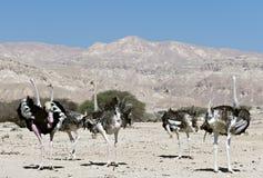 女性和男性非洲驼鸟(非洲鸵鸟类骆驼属) 图库摄影