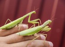 女性和螳螂坐一个人的棕榈 昆虫掠食性动物螳螂 免版税库存照片