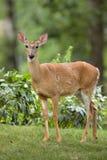 女性在前院的白被盯梢的鹿 免版税图库摄影