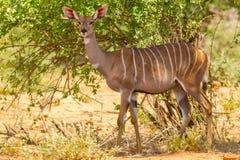女性在狂放的一点Kudu 免版税库存照片