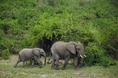 女性大象和婴孩Kazinga频道的支持 免版税库存照片