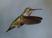 女性安娜的蜂鸟 免版税库存照片