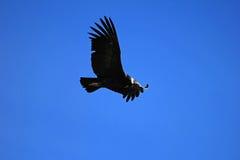 女性安第斯秃鹰飞行关闭 库存照片