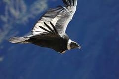 女性安第斯秃鹰飞行关闭 图库摄影
