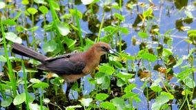 女性小船被盯梢的grackle鸟在沼泽地 免版税库存图片