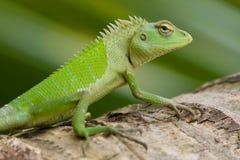 女性庭院绿蜥蜴 免版税库存照片