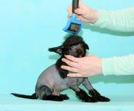 女性手做一条小狗的一种发型 在修饰期间,一只黑赤裸小狗在一个兽医沙龙摆在 免版税库存图片