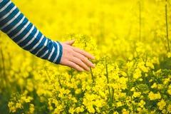 女性手感人的柔和的开花的油菜籽庄稼 库存照片