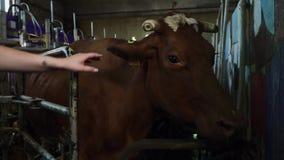 女性手接触一头母牛 影视素材