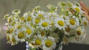 女性手接触在新鲜的领域春天春黄菊美丽的大花束  股票录像