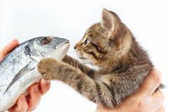 女性手提供一只小的小猫在白色背景的一条海鲷鱼 库存照片
