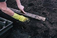 女性手测量种植的距离在地面 在妇女的手上的黄色手套 在的小绿色新芽 免版税图库摄影