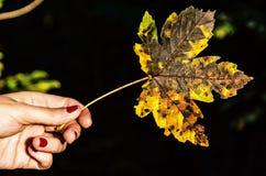 女性手细节有五颜六色的枫叶的,黄色过滤器 库存图片