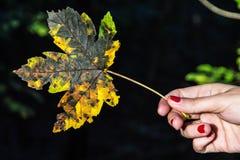 女性手细节有五颜六色的枫叶的 库存图片