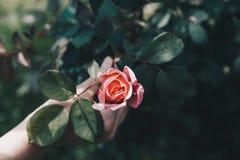 女性手藏品上升了-在树根的桃红色花-希望概念 图库摄影