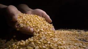 女性手藏品极少数干分裂豌豆,优质食物 股票视频