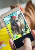 女性手采取在智能手机的一条小狗 库存照片